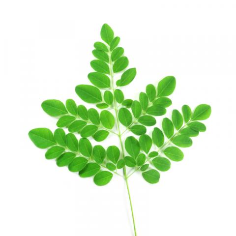 moringa branch